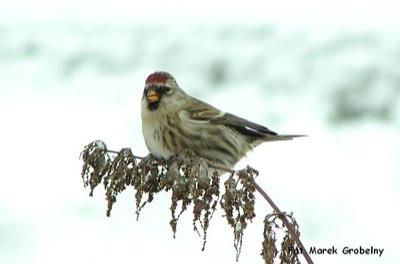 czeczotka - ptak